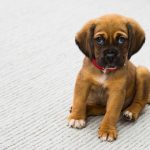 How to Get Rid of Puppy Hiccups with Home Remedies